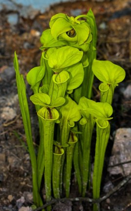 Yellow pitcher Plant