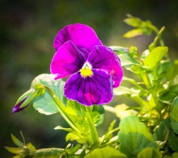 Purple Viola?